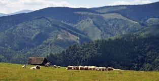 Sheeps grazing. Cindrel Mountains,Romania Stock Image