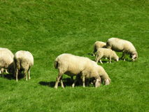 Sheeps grazing. A flock of sheeps grazing on a meadow stock photos