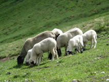 Sheeps grazing Stock Image