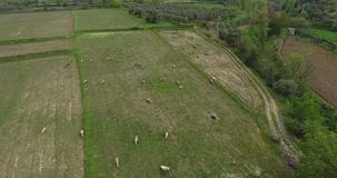 Sheeps Grazing Aerial Footage Turkey. 4096x2160 stock video