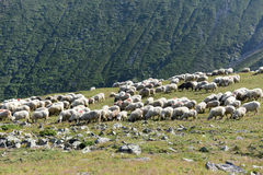 Sheeps grazing Royalty Free Stock Image