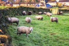 Sheeps Grazing Countryside UK Royalty Free Stock Images