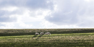 Sheeps grazing at the dyke Royalty Free Stock Photography