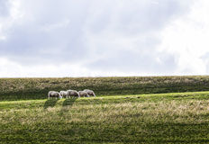 Sheeps grazing at the dyke Royalty Free Stock Images