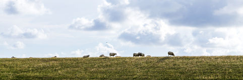 Sheeps grazing at the dyke Stock Photos