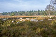 Sheeps on the Elspeter heather. Royalty Free Stock Photos
