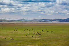 Sheeps grazing on farmland with wind turbines in the background Royalty Free Stock Photos
