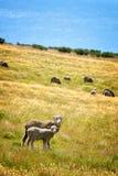 Sheeps grazing in a field near lake Tekapo Stock Photography