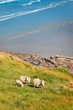 Sheeps grazing in a field near lake Tekapo Stock Photo