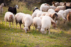 Sheeps  grazing in the forest. Royalty Free Stock Photography
