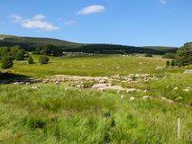 Sheeps grazing in France Stock Images