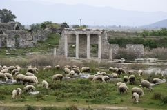 Sheeps grazing in front of Apollon Temple in Miletus ancient city, Turkey royalty free stock image