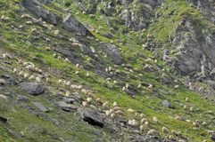 Sheeps grazing grass between mountain rocks Royalty Free Stock Photography