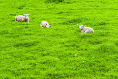 Sheeps Grazing on Green Pasture Royalty Free Stock Image