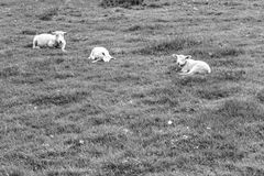 Sheeps Grazing on Green Pasture Stock Images