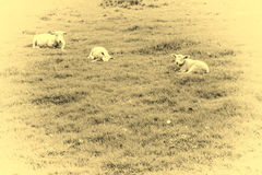 Sheeps Grazing on Green Pasture Stock Photos