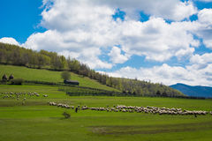 Sheeps grazing on hills Royalty Free Stock Photos