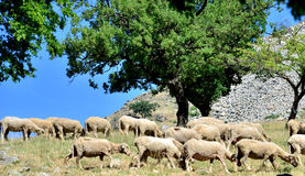 Sheeps grazing. Macin Mountains,Romania Royalty Free Stock Photos