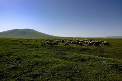 Sheeps grazing in a meadow stock photography