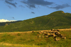 Sheep grazing on mountain meadow Royalty Free Stock Photo