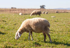 Sheeps grazing in the meadow of Extremadura Royalty Free Stock Photos