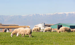 Sheeps grazing in the meadow of Extremadura Royalty Free Stock Photo