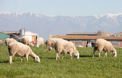 Sheeps grazing in the meadow of Extremadura Stock Photography