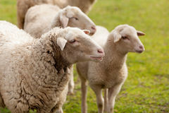 Sheeps grazing in the meadow Royalty Free Stock Photos