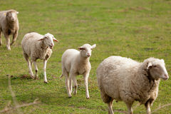 Sheeps grazing in the meadow Stock Photo