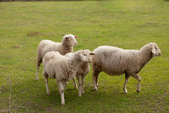 Sheeps grazing in the meadow Stock Photography