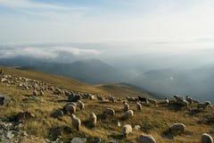 Sheeps grazing Stock Photo