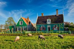 Sheeps grazing near farm houses in the museum village of Zaanse Stock Photo