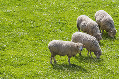 Sheeps grazing while one looks 1. Sheeps grazing while one looks at the observer with text space at their back Royalty Free Stock Photos