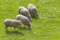 Sheeps grazing while one looks 2. Sheeps grazing while one looks at the observer with text space at their front Royalty Free Stock Photo