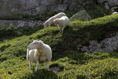 Sheeps grazing on the rocks. Stock Image