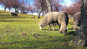 Sheeps grazing on a spring day stock footage