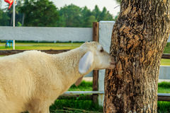 Sheeps Grazing Tree Royalty Free Stock Image