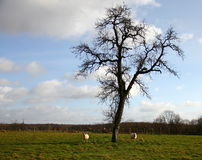Sheeps grazing in winter. Two sheeps grazing near the tree in winter time Stock Photo