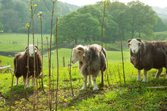 Sheeps in green field. Stock Photography