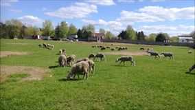 Sheeps on a green field. Sheep graze on the green field. Spring. On the Polish farm stock video
