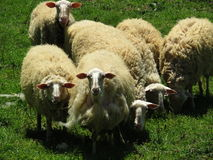 Sheeps at a green field Royalty Free Stock Images