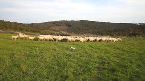 Sheeps on green field stock footage