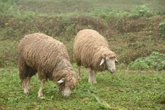 Sheeps on green fields with mist. Sheeps on green fields with mist in the morning Royalty Free Stock Image