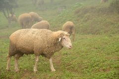 Sheeps on green fields with mist. Sheeps on green fields with mist in the morning Stock Image