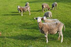 Sheeps in the green grass Royalty Free Stock Photography