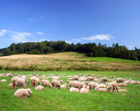Sheeps on a green meadow Stock Images