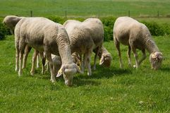 Sheeps on a green meadow royalty free stock photography
