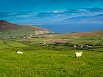 Sheeps on a green meadow Stock Photo
