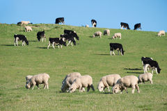 Sheeps in green rural meadow, South Island, New Zealand Royalty Free Stock Image