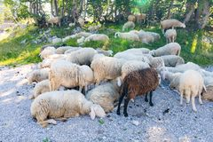 Sheeps on the ground. White and brown sheep. Rocks and grass stock photography